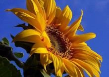 Sunflowers_at_sunshine